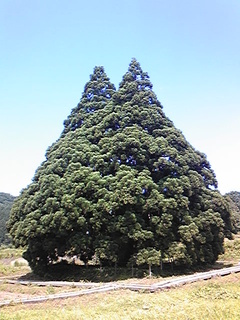 トトロの木(小杉の大杉)