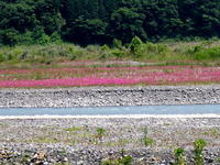 ピンク色のムシトリナデシコがどんどん広がる