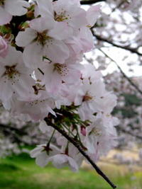 桜の花を見てきました