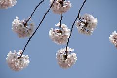 ようやく桜の季節