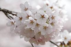 いこいの村 満開の桜