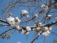 ようやく桜開花