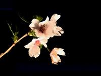 夜桜orバーベキュー♪