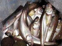 酒田北港のハタハタ釣りは・・・
