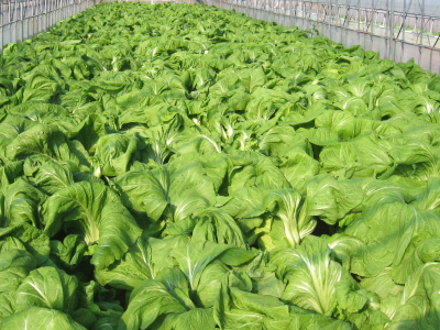青菜せいさい収穫_003
