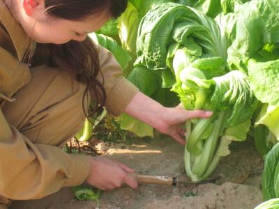 青菜せいさい収穫_005