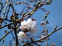 ☆桜、咲いてました☆