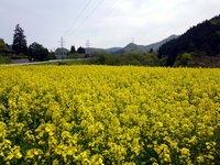 ☆菜の花畑☆